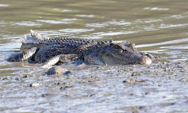 Australian Crocodiles – All You Need To Know